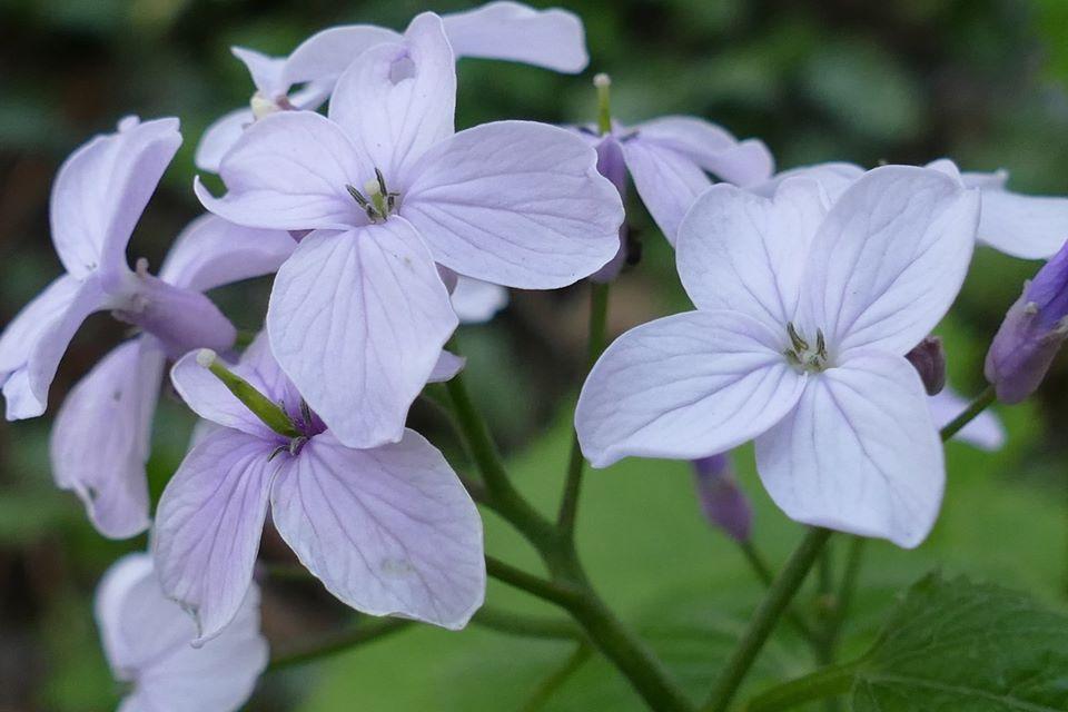 На Тернопільщині розцвіла рідкісна реліктова рослина (ФОТОФАКТ), фото-1